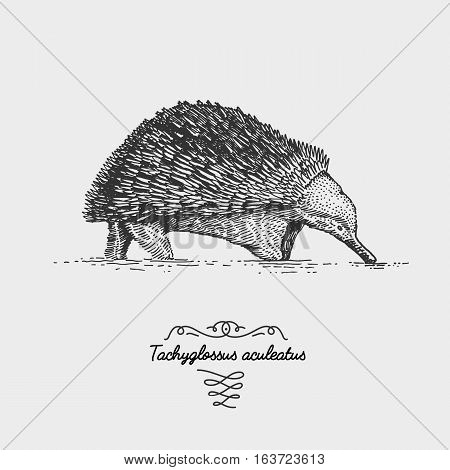 Echidna Tachyglossus aculeatus engraved, hand drawn vector illustration in woodcut scratchboard style, vintage drawing australian species rare