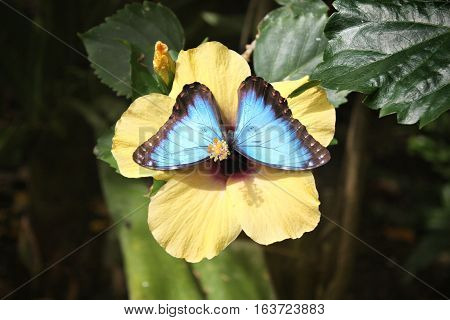 Beautiful Pretty Colourful Blue Butterfly With Wings Spread
