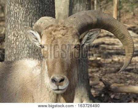 A ram close up image in the forest