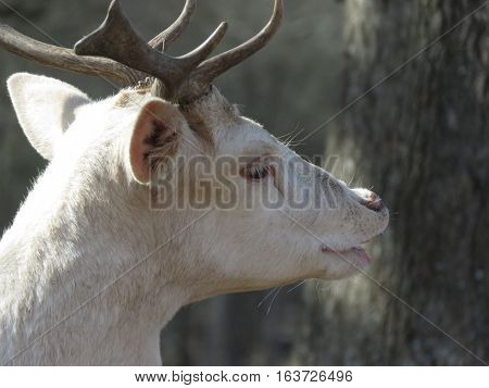 A white deer side profile image in the forest
