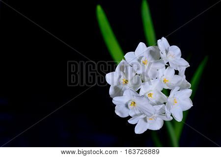white flowers with green stems and dark blue background