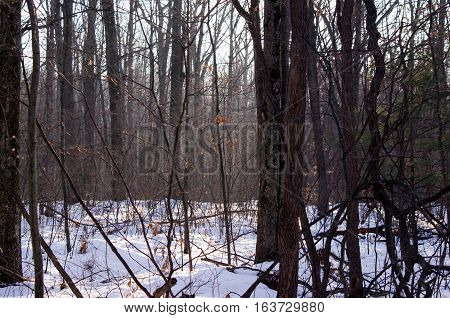 first morning rays from the sun in a winter forest setting.