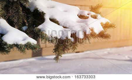 Snow on pine cone tree beautiful natural of winter background with sun ray effect