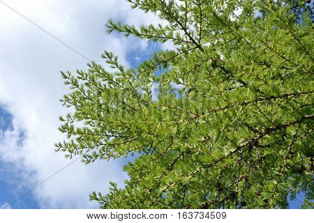 Larch branches against the sky Siberia Omsk region Russia