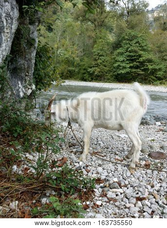 Goats graze on the Mzymta River in the canyon Ahshtyrskaya Sochi Russia.