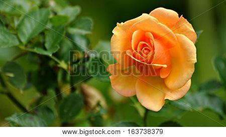 Beautiful Natural Yellow Rose  for rose lovers