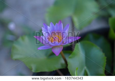lotus flower background for an illustration and paste text