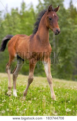 Curious Bay Arabian Colt standing at pasture.