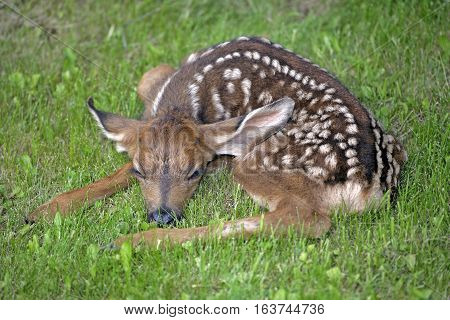 Mule deer or Black-tail Fawn few days old resting in grass