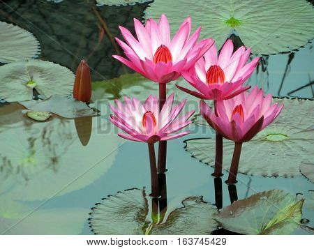 Beautiful blooming pink lotus in a pond.