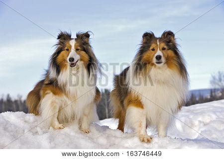 Shetland Sheepdog two together on snowy hill, portrait