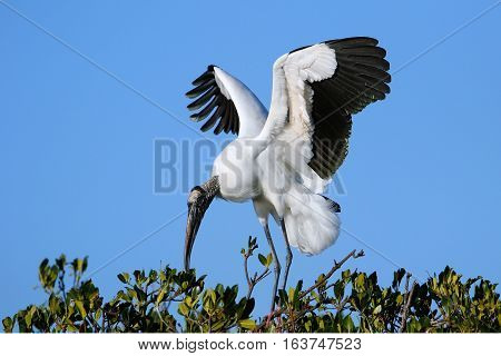 Wood stork (Mycteria americana) spreading wings on a tree