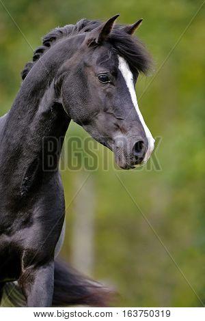 Black Arabian Stallion trotting in meadow portrait close up