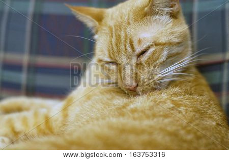 Yellow tabby cat grooming on a couch