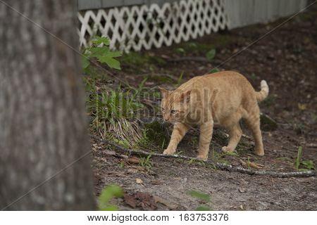 Yellow Cat Walking Outdoors