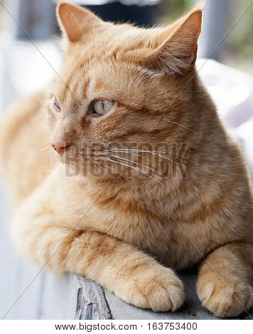 Yellow tabby cat laying on a porch rail