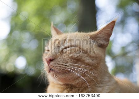 Content yellow tabby cat with no collar outdoors
