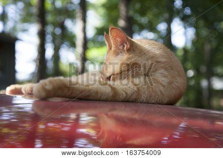 Tabby Resting