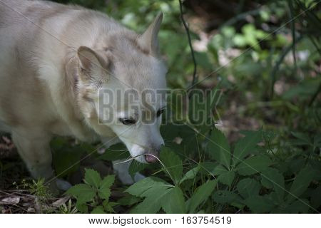 White dog sniffing through tall, green foliage