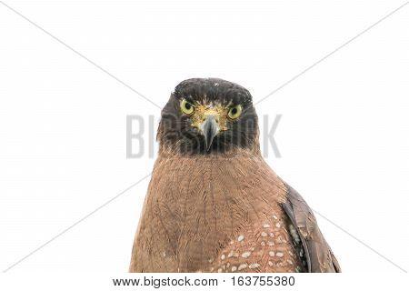 eagle closeup or falcon Peregrine beautiful on white background