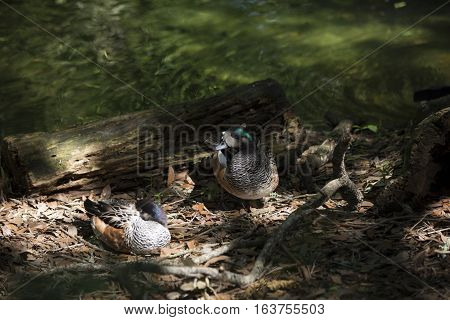 American widgeon ducks (Anas americana) near a lake