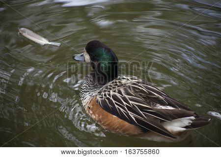 Close up of an American widgeon duck (Anas americana) swimming