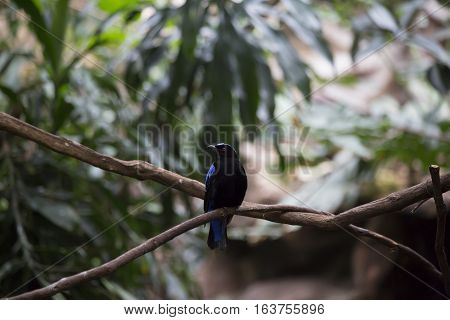 Asian fairy bluebird (Irena puella) on a branch