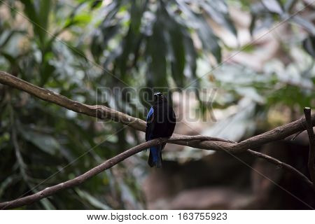 Asian fairy bluebird (Irena puella) on a bare branch