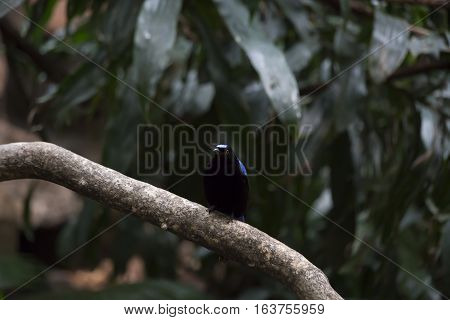 Asian fairy bluebird (Irena puella) perched on a thick branch
