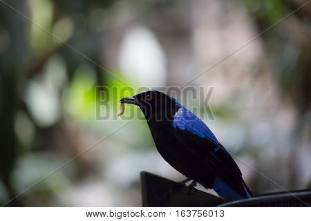 Asian fairy bluebird (Irena puella) eating a grub