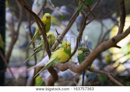 Budgie birds perched on bare, thick branches