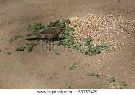 Female cardinal eating on a pond bank