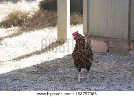 Free range rooster in a dusty barnyard