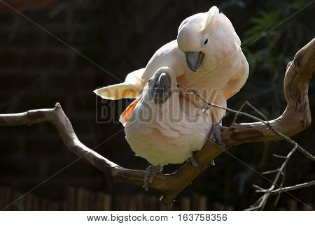 Two salmon-crested cockatoos on a bare branch