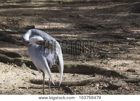 Sandhill crane (Antigone canadensis) grooming its feathers