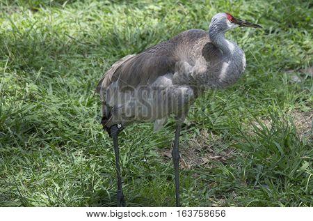 Sandhill crane (Antigone canadensis) in the Louisiana spring