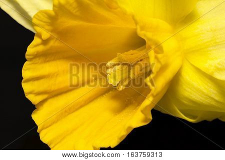 Spring flower of yellow jonquil on black background close up