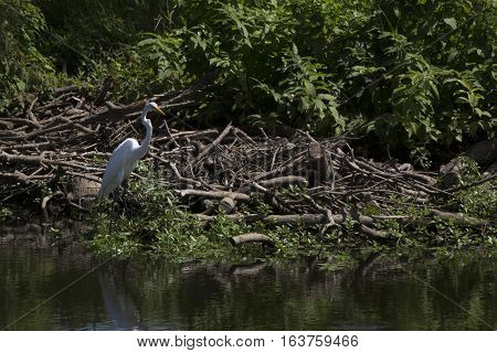 Great egret (Ardea alba) near a pond shore