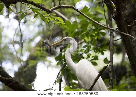 Great egret (Ardea alba) in a tree