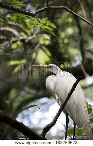 Great egret in a lush, green tree