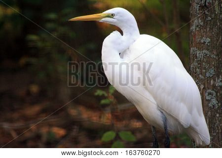 Close up of a greater egret grooming on a branch
