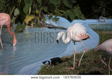 Flamingo preening near a crisp drinking pond