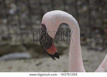 Close up of a lesser flamingo's head