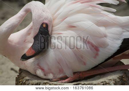Close up of a lesser flamingo guarding eggs