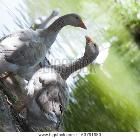 Pair of greylag geese (Anser anser) near pond
