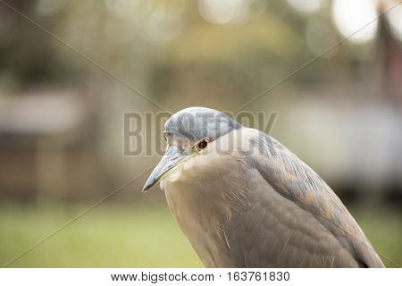 Close up of a back-crowned night heron
