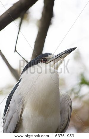 Close up of a black-crowned night heron in a tree