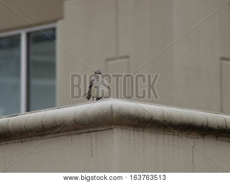 Northern mockingbird (Mimus polyglottos) perched on a building