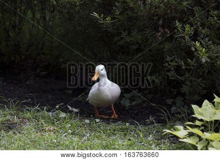 American Pekin duck hiding in summer foliage