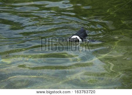 African penguin, also called a black-footed penguin, swimming